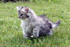 Gray kitten Stock Photography