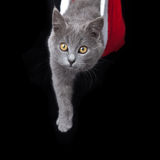 Gray kitten hides inside of a red santa hat Stock Photos