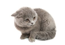 gray kitten isolated stock photo