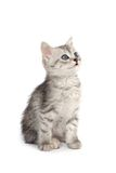 Gray kitten isolated on white Stock Image