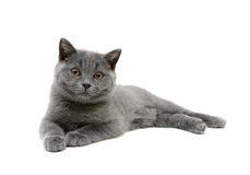 Gray kitten isolated on white background Royalty Free Stock Photos
