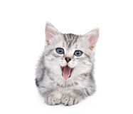 Gray kitten isolated on white Royalty Free Stock Photography