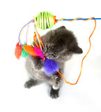Gray kitten jumping up and playing with toy Royalty Free Stock Photo