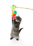 Gray kitten jumping up and playing with toy Stock Photo