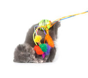 Gray kitten jumping up and playing with toy Stock Photos