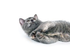 Gray kitten laying down and looking up Royalty Free Stock Images