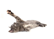 Gray kitten laying down and swining its paw Stock Images