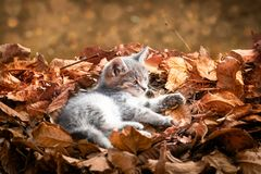 Gray kitten laying in pile of autumn leaves. Cute gray baby kitten laying in pile of orange autumn leaves royalty free stock image