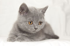 Gray Kitten Look Down Stock Photography