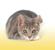 Gray Kitten Looking no branco Fotografia de Stock Royalty Free
