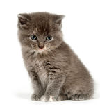Gray kitten looking up Royalty Free Stock Photos