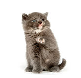 Gray kitten looking up Stock Photography