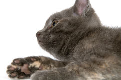 Gray kitten looking up Stock Photo