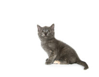 Gray kitten looking up on a white background Royalty Free Stock Photos
