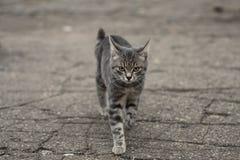 Gray kitten. Royalty Free Stock Photo