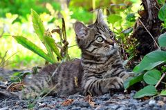 Gray kitten lying down under a tree royalty free stock photo