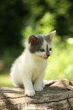 Gray kitten mewing cutely and resting on the tree stump Stock Photos