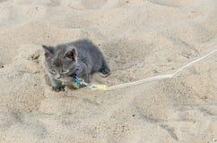 Gray Kitten On minuscolo un guinzaglio fotografia stock libera da diritti