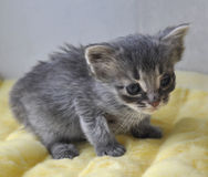 Gray kitten newborn Royalty Free Stock Image
