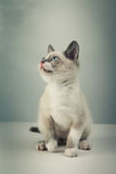 Gray kitten Royalty Free Stock Image