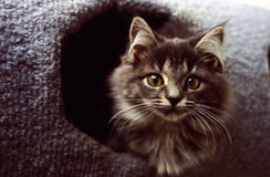 Gray Kitten In Playhouse Royalty Free Stock Photography