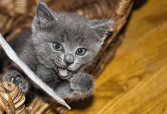Gray Kitten Playing con la cinta de zapatos Fotografía de archivo