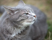 Gray kitten playing outdoors Stock Photography