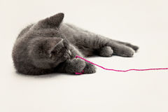 Gray kitten playing with pink clew isolated Royalty Free Stock Photo