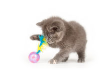 Gray kitten playing with toy Stock Images