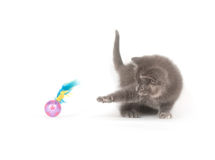 Gray kitten playing with toy Stock Photography