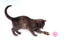 Gray kitten playing with a toy Stock Images