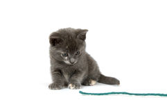 Gray kitten playing with yarn Stock Image