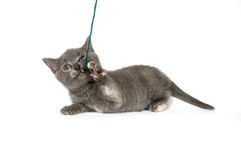 Gray kitten playing with yarn Royalty Free Stock Photography