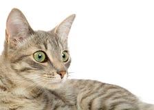 Gray kitten portrait Stock Image