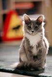 Gray kitten portrait Royalty Free Stock Photo