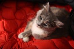 Gray kitten portrait Royalty Free Stock Images