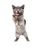 Gray kitten pouncing Stock Photos