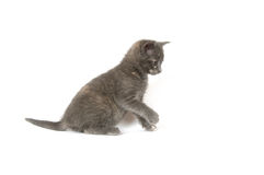 Gray kitten pouncing. A gray kitten pouncing on a white background Royalty Free Stock Image