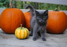 Gray Kitten with Pumpkins Stock Images