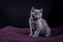 A gray kitten on a purple  blanket Stock Image