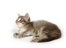 Gray kitten resting Stock Photos