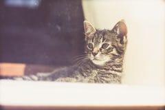 Gray Kitten Resting pensativo en la ventana de cristal Fotos de archivo