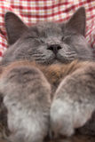Gray kitten sleeping sweetly on back, paws folded on chest Stock Photos