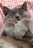 Gray kitten sleeping sweetly on back, paws folded on chest Stock Photo