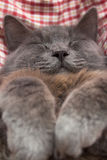 Gray kitten sleeping sweetly on back, paws folded on chest Stock Images