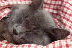 Gray kitten sleeping sweetly on back, paws folded on chest Royalty Free Stock Image