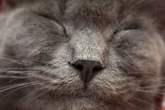 Gray kitten sleeping sweetly on back, stretched out paw Royalty Free Stock Image