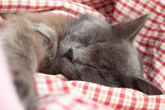 Gray kitten sleeping sweetly on back, stretched out paw. Gray kitten sleeping sweetly on his back, stretched out paw - on a red checkered background Royalty Free Stock Images