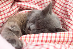 Gray kitten sleeping sweetly on back, stretched out paw Stock Photography