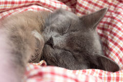 Gray kitten sleeping sweetly on back, stretched out paw Stock Photo